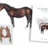 Das Topline Syndrom – Die Rückenschwäche des Pferdes als Symptom